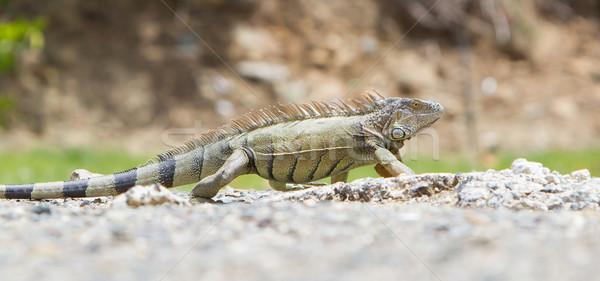 Leguaan natuurlijke leefgebied natuur groene tropische Stockfoto © michaklootwijk