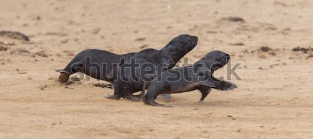 Running cape fur seals (Arctocephalus pusillus) Stock photo © michaklootwijk