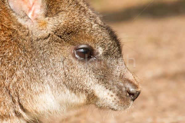 A parma wallaby Stock photo © michaklootwijk
