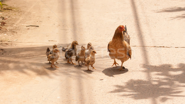 Adult hen and her newly hatched chickens Stock photo © michaklootwijk