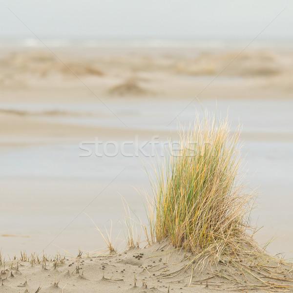 Dune-grass on the beach Stock photo © michaklootwijk