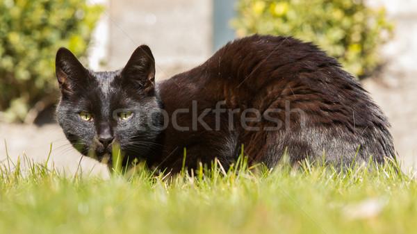 Black cat on grass Stock photo © michaklootwijk