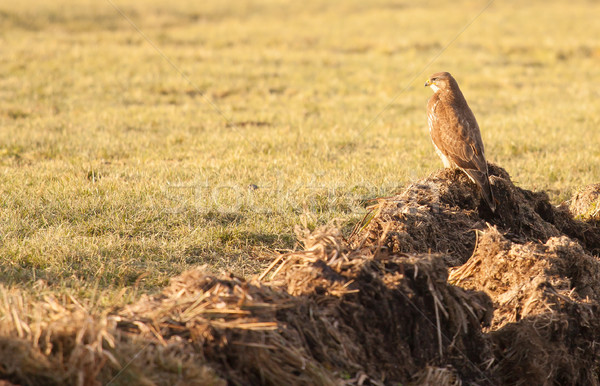 A buzzard in a field  Stock photo © michaklootwijk