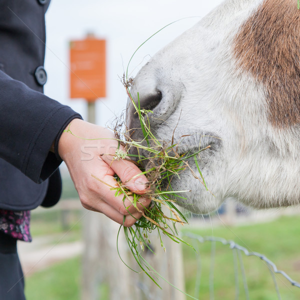 Woman feeding a donkey  Stock photo © michaklootwijk
