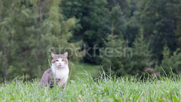 Cat sitting in a large green field Stock photo © michaklootwijk