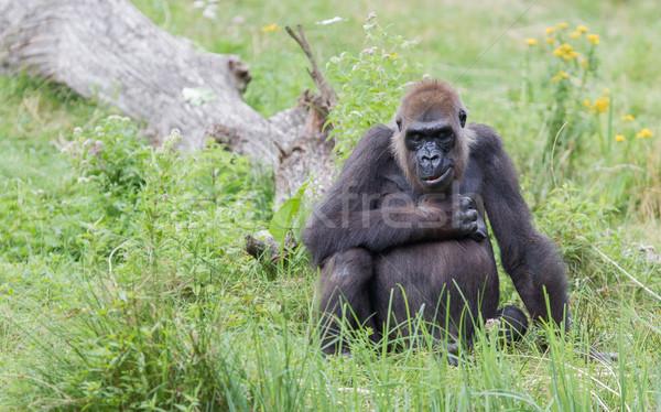 Felnőtt gorilla pihen zöld fű arc szépség Stock fotó © michaklootwijk