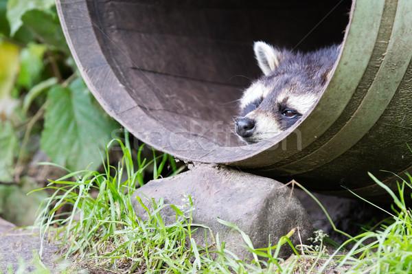 Racoon in a barrel, resting Stock photo © michaklootwijk