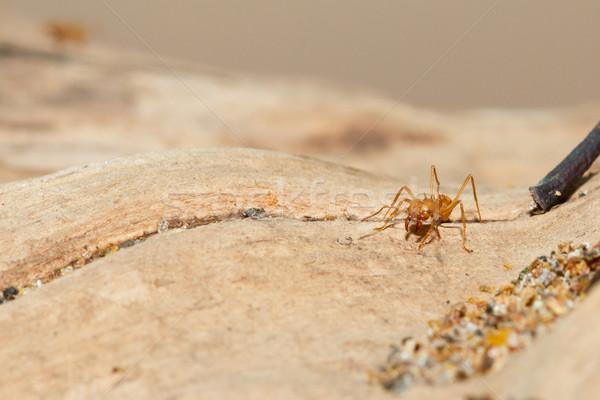 Feuille fourmi zoo fond blanche Photo stock © michaklootwijk