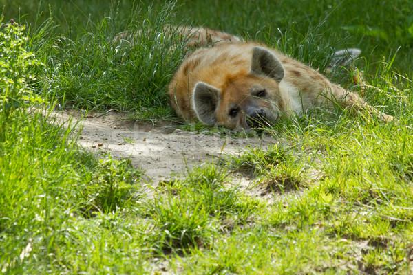 Groß Hyäne ruhend Nachmittag Sonne Augen Stock foto © michaklootwijk