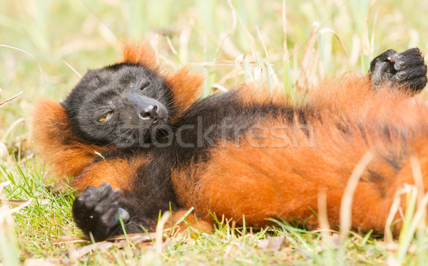 Red-bellied Lemur (Eulemur rubriventer)  Stock photo © michaklootwijk