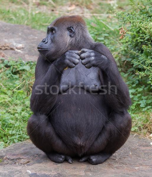 Volwassen gorilla eten stuk vruchten voedsel Stockfoto © michaklootwijk