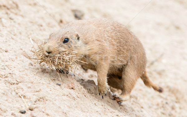 Black-Tailed prairie dog in it's natural habitat Stock photo © michaklootwijk
