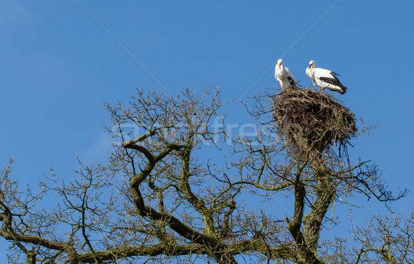 Pair of storks Stock photo © michaklootwijk