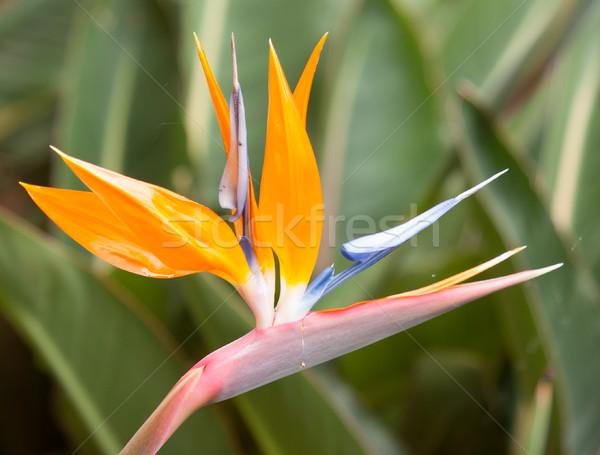 Bird of paradise flowers (Strelitzia) Stock photo © michaklootwijk