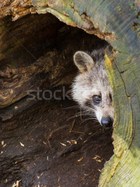 Yetişkin rakun yuva göz doğa saç Stok fotoğraf © michaklootwijk