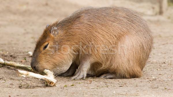 Capybara (Hydrochoerus hydrochaeris) sitting in the sand Stock photo © michaklootwijk
