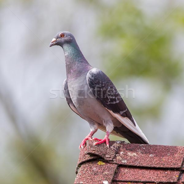 Pigeon on roof Stock photo © michaklootwijk