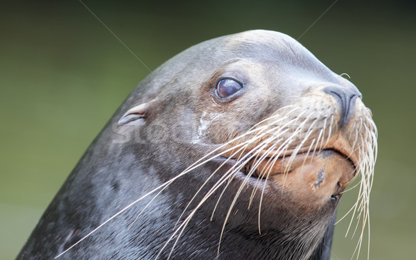 Close-up of a California sea lion Stock photo © michaklootwijk