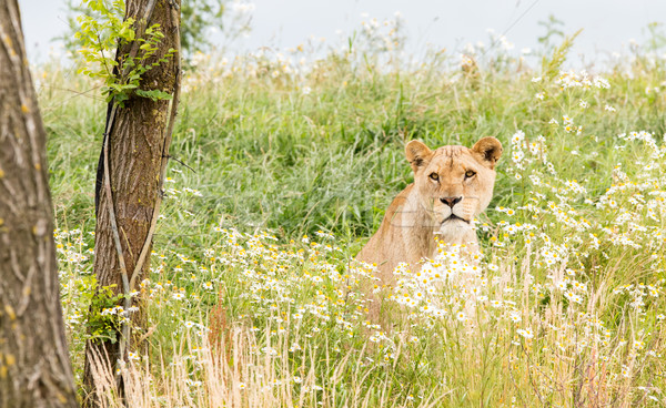 Сток-фото: женщины · лев · свежие · дерево · природы