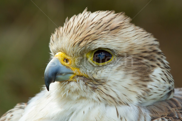 A close-up of a falcon Stock photo © michaklootwijk