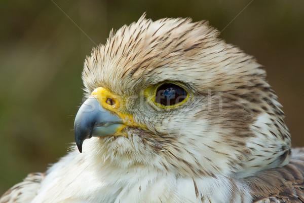 Primo piano falcon uccello libertà animale libero Foto d'archivio © michaklootwijk