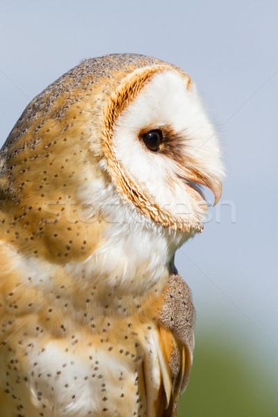 A sitting owl Stock photo © michaklootwijk