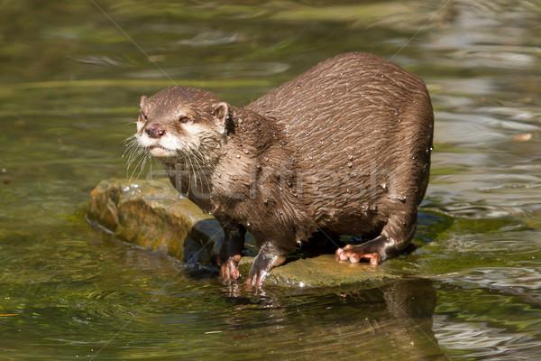 A wet otter Stock photo © michaklootwijk