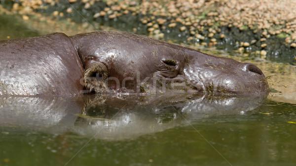 Pygmy hippo swimming in a pool in Saigon Stock photo © michaklootwijk