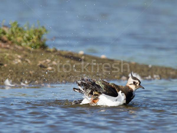 Lapwing taking a bath in a lake Stock photo © michaklootwijk