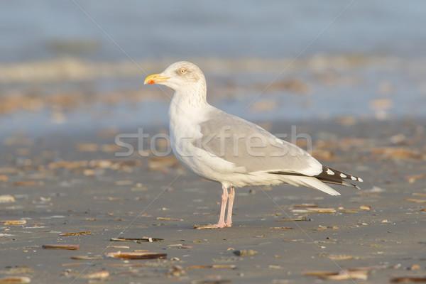 Herring gull on a beach Stock photo © michaklootwijk