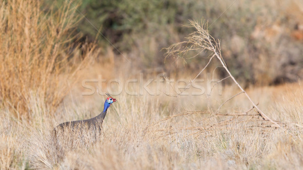 Guinea Fowl, Helmeted - Wild Game Birds from Africa Stock photo © michaklootwijk