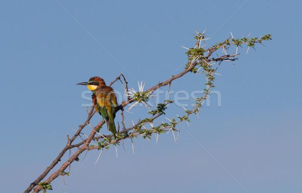 European bee-eaters (Merops Apiaster) Stock photo © michaklootwijk