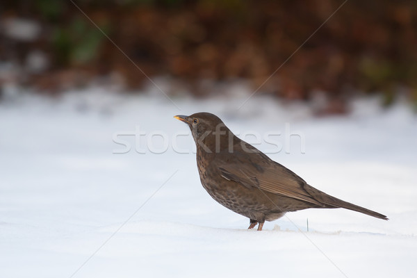 Blackbird froid neige holland oeil jardin Photo stock © michaklootwijk