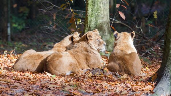 Three Lionesses enjoying the sun Stock photo © michaklootwijk