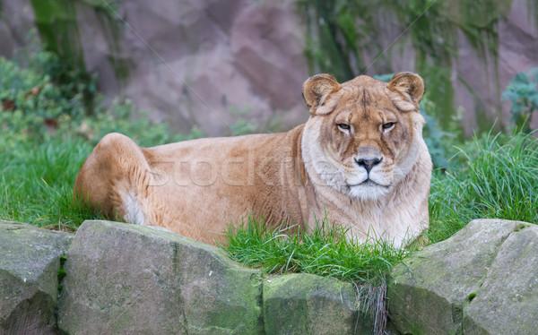 Lew zielona trawa włosy zwierząt futra Zdjęcia stock © michaklootwijk