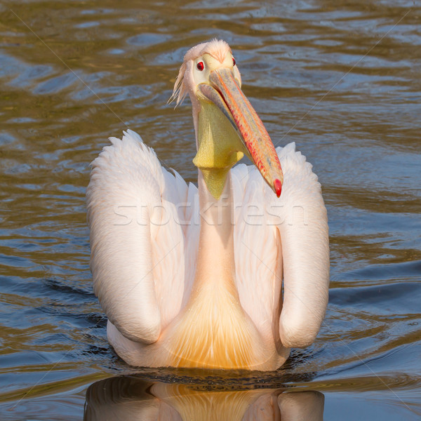 A swimming pelican  Stock photo © michaklootwijk