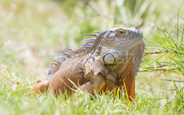 イグアナ 自然 生息地 自然 緑 熱帯 ストックフォト © michaklootwijk