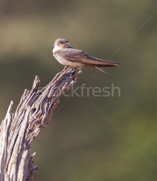 Swallow Sand Martin (Riparia riparia) Stock photo © michaklootwijk