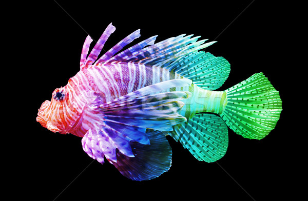 Pterois volitans, Lionfish - Isolated on black Stock photo © michaklootwijk