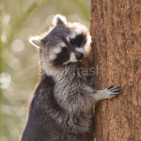 Curious racoon is climbing a tree Stock photo © michaklootwijk