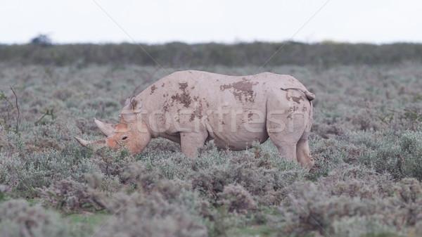 Black (hooked-lipped) rhinoceros (Diceros bicornis) Stock photo © michaklootwijk