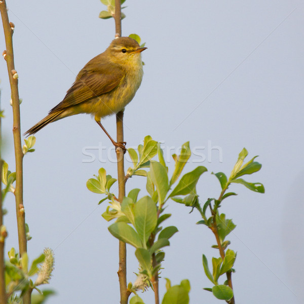 A Willow Warbler Stock photo © michaklootwijk