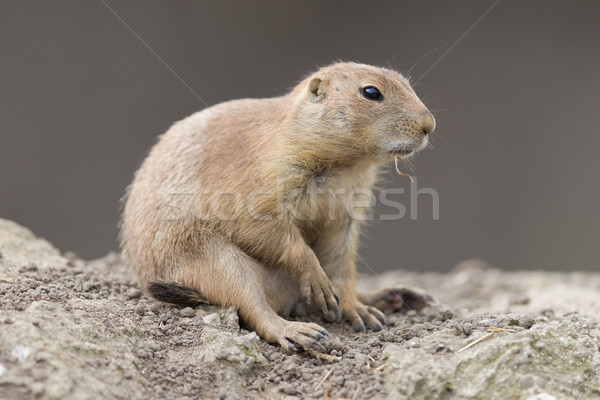 Black-tailed prairie dog  (Cynomys ludovicianus) Stock photo © michaklootwijk