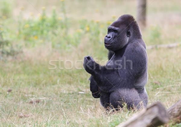 серебро мужчины горилла горные черный Сток-фото © michaklootwijk