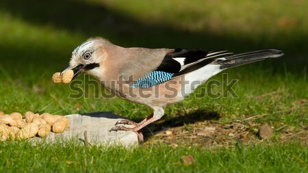 A Jay bird (Garrulus glandarius) Stock photo © michaklootwijk
