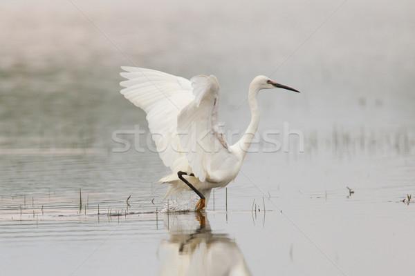 Egretta garzetta or small white heron Stock photo © michaklootwijk