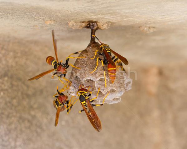 Jack Spaniard wasps on a small nest Stock photo © michaklootwijk