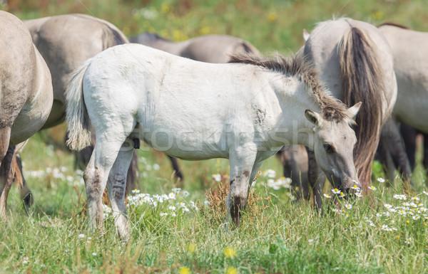 Tay olgun atlar bahar doğa Stok fotoğraf © michaklootwijk