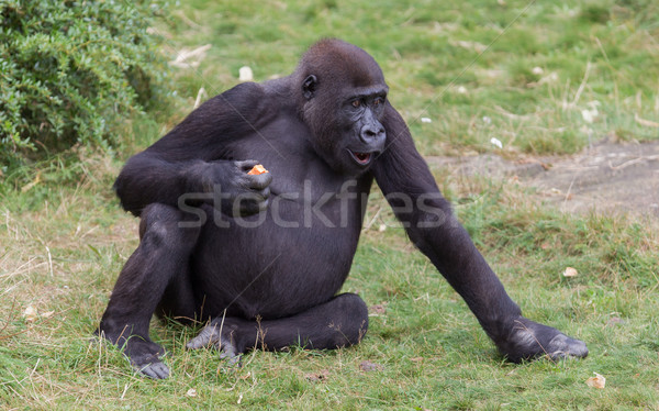 Adult gorilla eating Stock photo © michaklootwijk