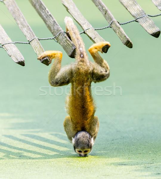 Сток-фото: белку · обезьяны · питьевая · вода · лице · Африка